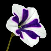 Purple Stripes On Morning Glory With Green Flower Isolated