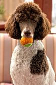stock photo of poodle  - Standard parti poodle - JPG