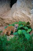 foto of ermine  - A weasel sitting on the grass near his cave - JPG