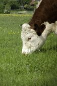 picture of hereford  - The head of a pedigree Hereford cow grazing in a grassy field of buttercups - JPG