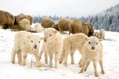 stock photo of baby sheep  - Flock of sheep skudde with lamb eating the hay meadow covered with snow - JPG