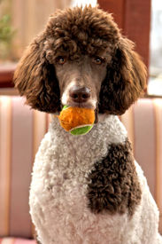 image of parti poodle  - Standard parti poodle - JPG