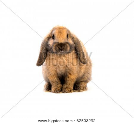 Rabbit sitting in front of white background
