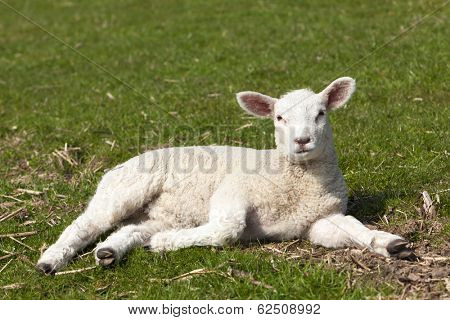 Easter lamb on a dyke at the Elbe river