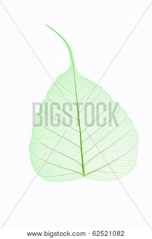 Leaf Vein Isolated