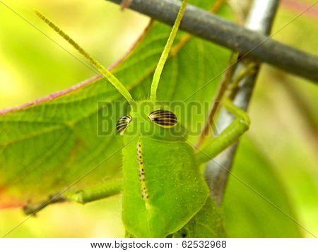 Garden Locust Nymph
