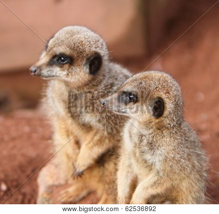 Meerkat (suricata Suricata)