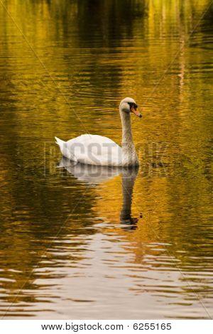 Swan On Lake, Autumnal Afternoon