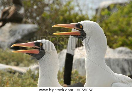 Pair or nazca boobies of the galapagos islands, Ecuador