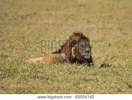 Lion in Tanzania