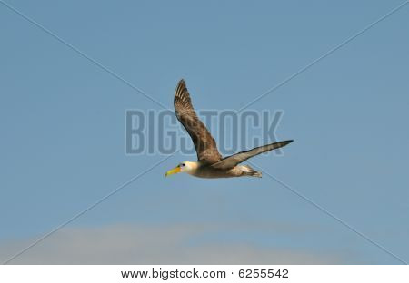 giant albatross of the galapagos soaring in flight over the Atlantic ocean