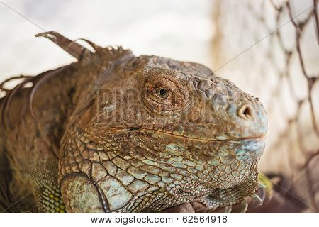 Iguana Lizard, Focus At Eyes