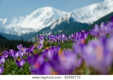 Carpet Of Blooming Crocuses In Chocholowska Valley In Tatra Mountains