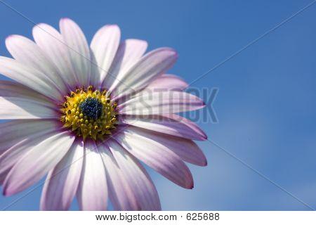 A Rain Daisy Against A Blue Sky