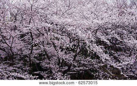 Full bloom cherry blossom with darkness under the trees