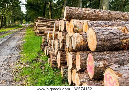 Freshly Sawn Logs In A Forest Setting