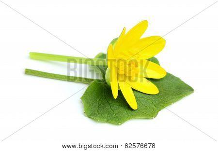 Wild Buttercup.Ranunculus Ficaria.