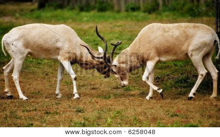 Male Impalas Fighting