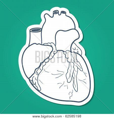 Anatomical heart human organ.