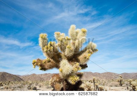 Cholla cactus with Blue Sky Background