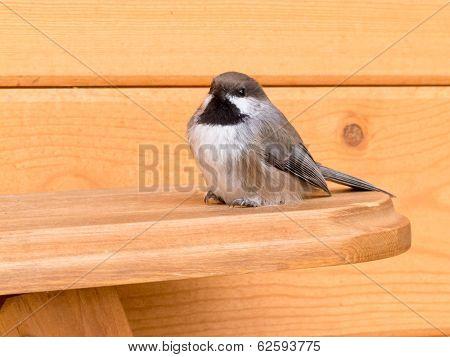 Boreal Chickadee Poecile Hudsonicus Passerine Bird