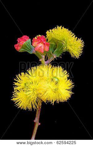Australian Blossom