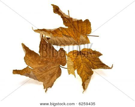 Some Yellow Dry Leaves