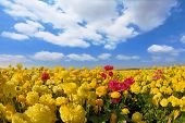 pic of buttercup  - Spring in Israel - JPG