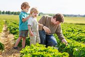 picture of strawberry blonde  - father and two little sibling boys on organic strawberry farm in summer picking berries - JPG