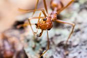stock photo of mandible  - Close up of red weaver ant with one broken mandible
