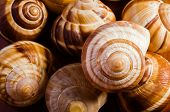 pic of escargot  - Group of snail shells escargots de Bourgogne under the sunlight - JPG