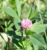 pic of red clover  - Red clover flower plant in spring summer garden - JPG