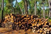 picture of afforestation  - Logging in the Portugal Forest  in the Fall - JPG