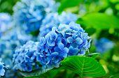 picture of hydrangea  - Many blue hydrangea flowers growing in the garden - JPG