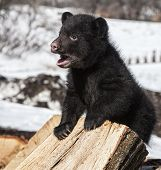 picture of bear-cub  - American black bear cub - JPG