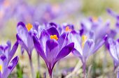 Beautiful Blooming Crocuses In Chocholowska Valley In Tatra Mountain