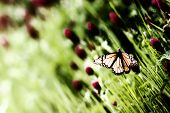 Butterfly on Purple Clover