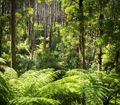 picture of mountain-ash  - Lush green ferns tree ferns and towering mountain ash along the Black Spur Victoria Australia - JPG