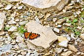 Butterfly Orange On The Stones