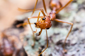 image of mandible  - Close up of red weaver ant with one broken mandible