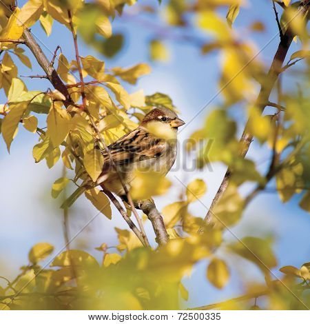 Sparrow Bird Passer P. Domesticus Detailed Closeup, Autumn Tree Hideout, Yellow Leaves, Sunny Sky