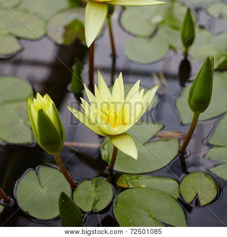 yellow lotus