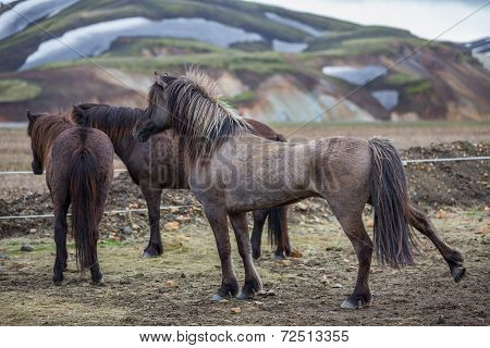 Rear view of Icelandic horses group in Landmannalugar unbelievable landscape