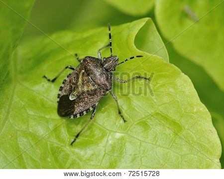 Hairy Shieldbug Or Sloe Bug