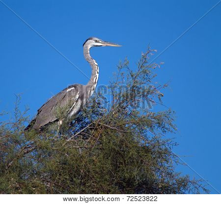 Young grey heron, ardea cinerea