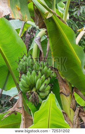 A Banana Tree With A Bunch Of Green Bananas