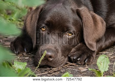 Brown labrador retriever puppy