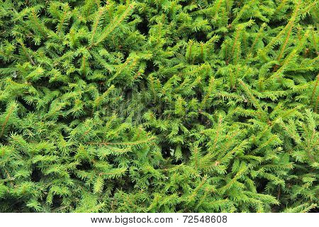 Closeup Norway Spruce