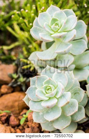 Succulent In Chiangmai Thailand