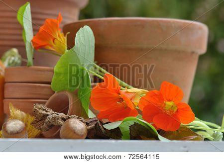 Nasturtium With Terracotta Pots